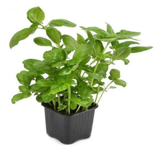 Picture of Basil (pot)